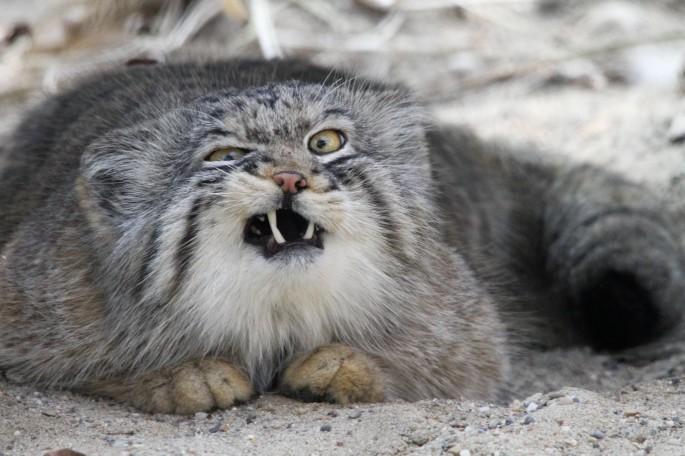 grumpy confused cat