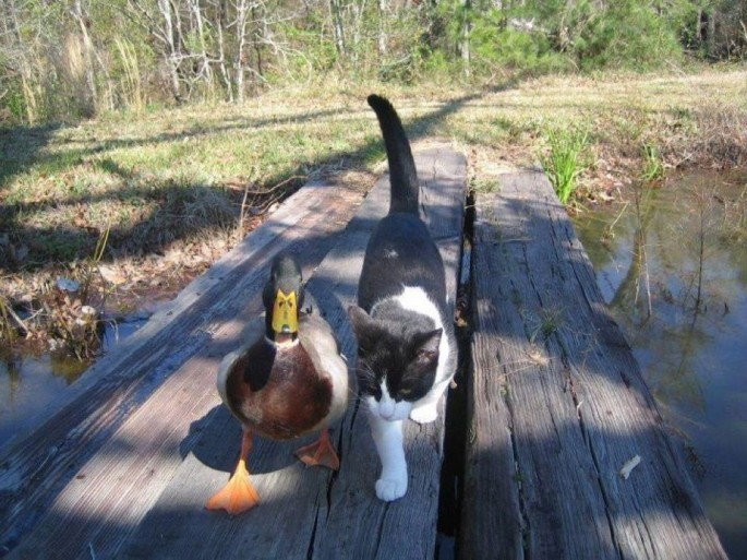 cat and duck date