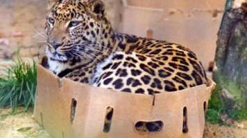 big cat little box