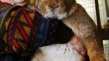 enormous bunny
