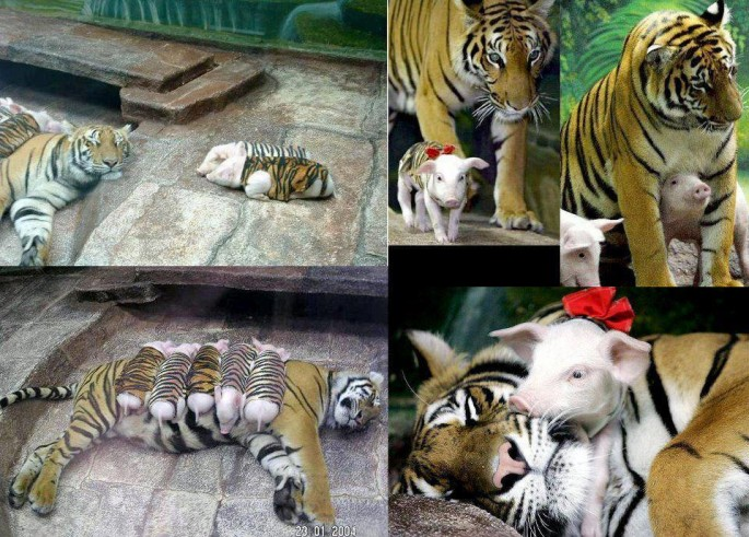 mama tiger and baby pigs