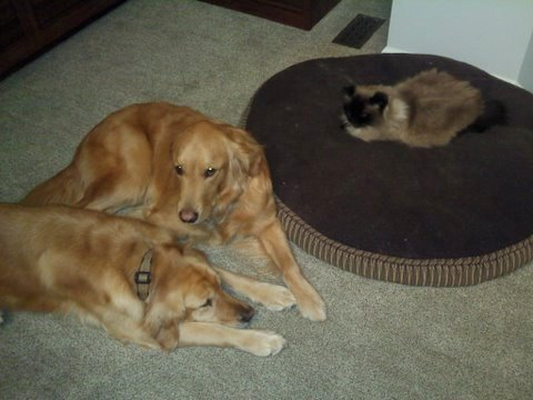 Clever cat outwits not one, but two dogs out of their bed