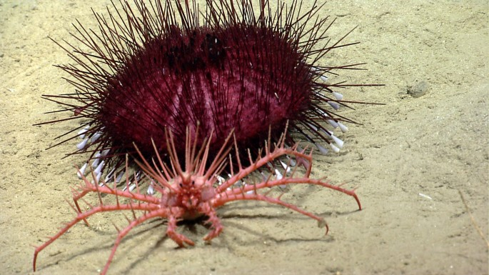 Okeanos finds a kingcrab and spiky urchin friend