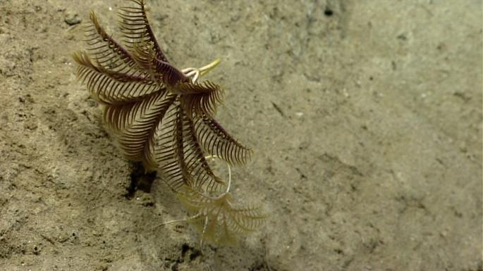 crinoids discovered in block canyon by okeanos explorer