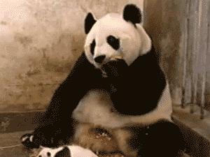 Sneezing baby panda gif