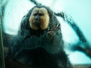 Puffy monkey presses hands against the glass
