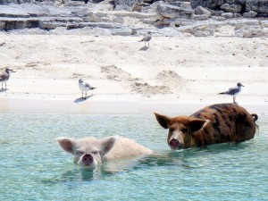 swimming pigs 1