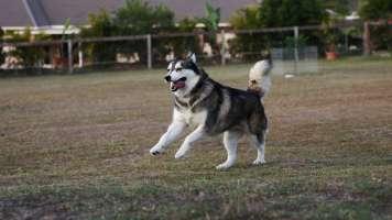 picture of a dancy husky by steve garner
