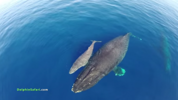 drone over humpback calf and mom