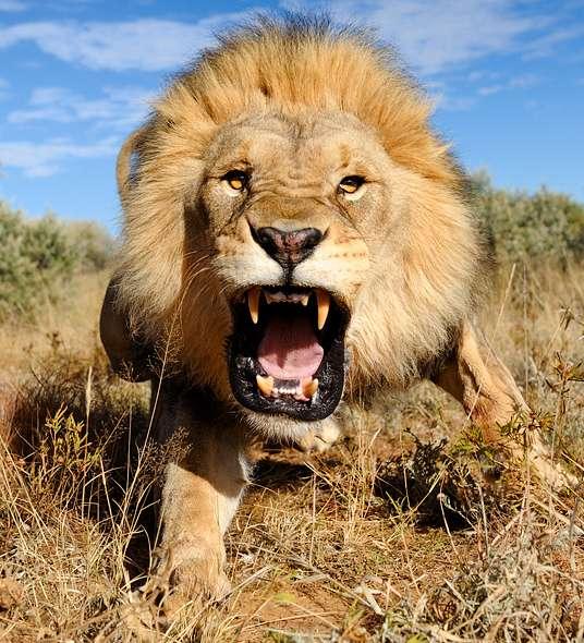 Lion Fear