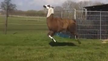 vine llama dancing to DMX