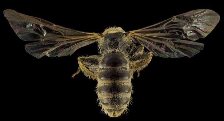 Lasioglossum aberrans, F, Back