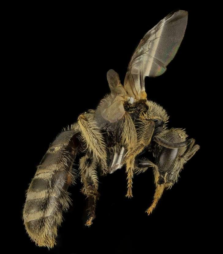 Lasioglossum aberrans, F, Side