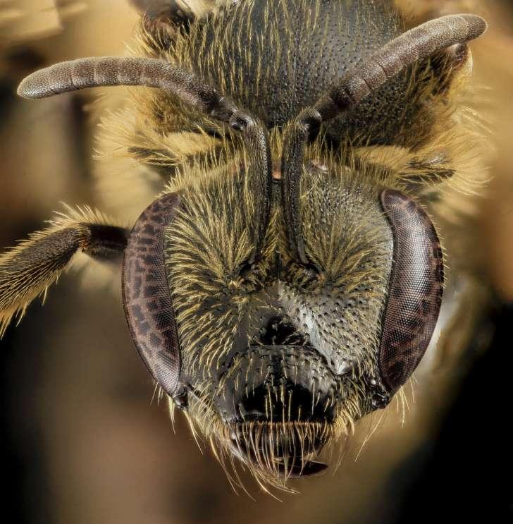 Lasioglossum accuminatum, F, Face