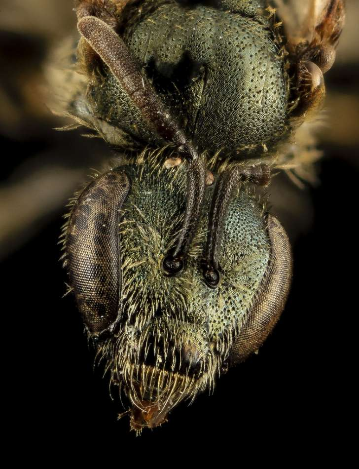 Lasioglossum admirandum, F, Face