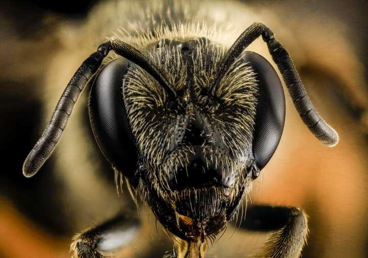 Lasioglossum coriaceum, f, head, upper