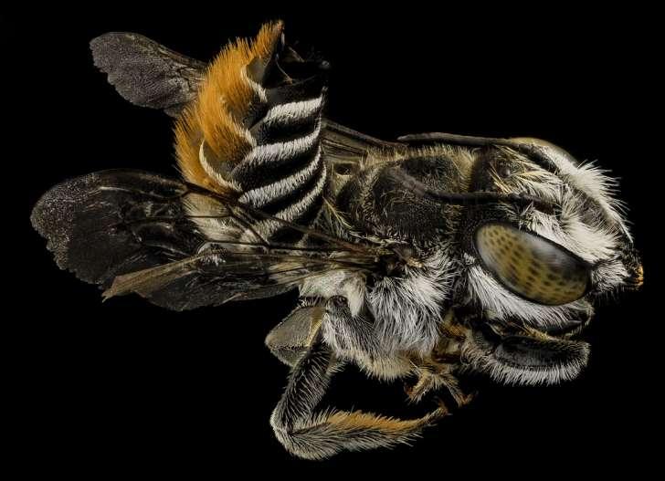Megachile fullawayi, back