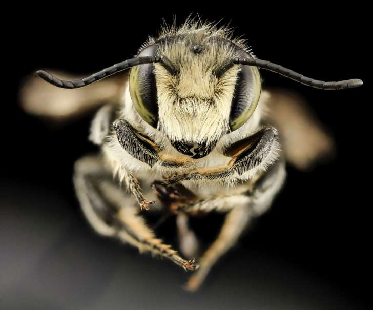 Megachile mendica, m, face